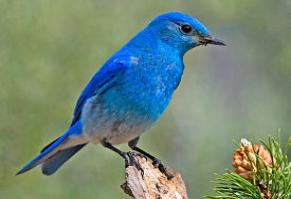 Mountain Blue Bird Idaho-bird-291x199